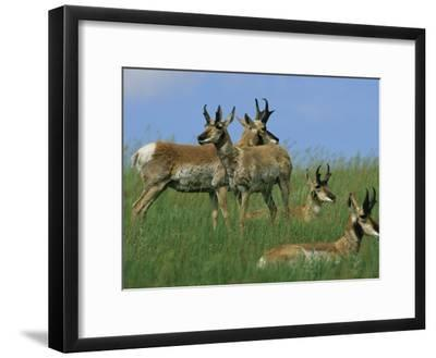 A Group of Pronghorns in Buffalo Gap National Grassland-Annie Griffiths Belt-Framed Photographic Print