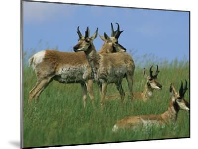 A Group of Pronghorns in Buffalo Gap National Grassland-Annie Griffiths Belt-Mounted Photographic Print