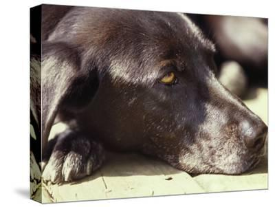 Black Lab Lounges in the Afternoon Sun-Stacy Gold-Stretched Canvas Print