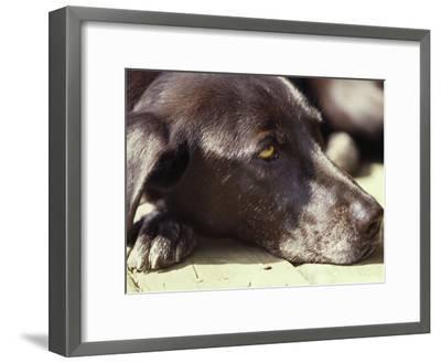 Black Lab Lounges in the Afternoon Sun-Stacy Gold-Framed Photographic Print