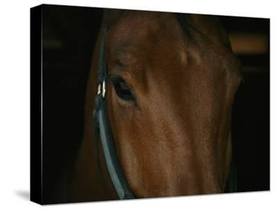 Close View of the Head of a Bay Horse-Stacy Gold-Stretched Canvas Print