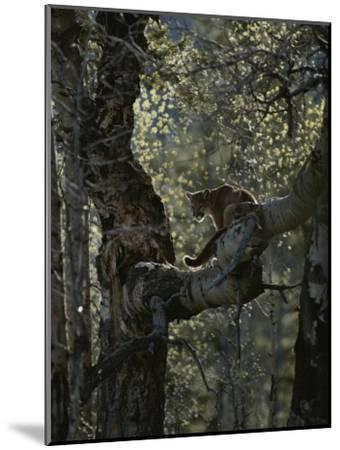 Mountain Lion Climbs up onto a Tree Limb-Jim And Jamie Dutcher-Mounted Photographic Print