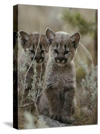 Pair of Eight-Week-Old Cougar Kittens-Jim And Jamie Dutcher-Stretched Canvas Print