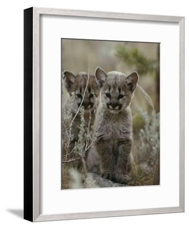 Pair of Eight-Week-Old Cougar Kittens-Jim And Jamie Dutcher-Framed Photographic Print