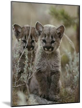 Pair of Eight-Week-Old Cougar Kittens-Jim And Jamie Dutcher-Mounted Photographic Print