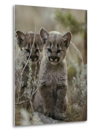 Pair of Eight-Week-Old Cougar Kittens-Jim And Jamie Dutcher-Metal Print