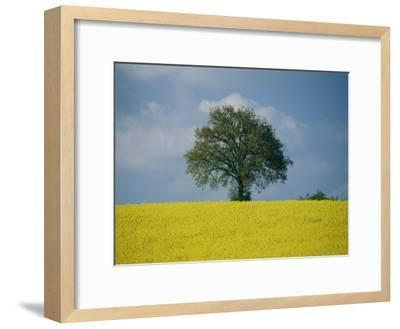 A Scenic View of Bright Yellow Rape Fields with a Single Green Tree at the Top of a Hill-Todd Gipstein-Framed Photographic Print