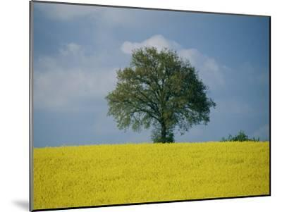 A Scenic View of Bright Yellow Rape Fields with a Single Green Tree at the Top of a Hill-Todd Gipstein-Mounted Photographic Print