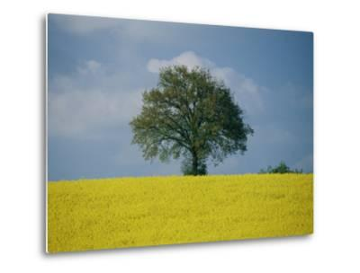 A Scenic View of Bright Yellow Rape Fields with a Single Green Tree at the Top of a Hill-Todd Gipstein-Metal Print