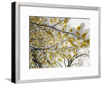 Fluffy Snow Clings to the Yellow Branches of a Flowering Forsythia Bush-Stephen St^ John-Framed Photographic Print