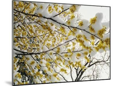 Fluffy Snow Clings to the Yellow Branches of a Flowering Forsythia Bush-Stephen St^ John-Mounted Photographic Print