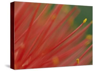 A Close View of a Fireball Lily Flower-Chris Johns-Stretched Canvas Print