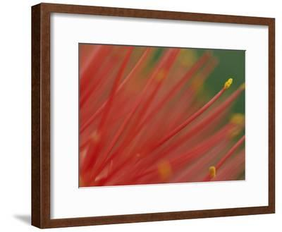 A Close View of a Fireball Lily Flower-Chris Johns-Framed Photographic Print