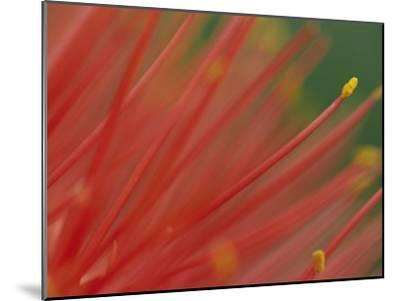 A Close View of a Fireball Lily Flower-Chris Johns-Mounted Photographic Print