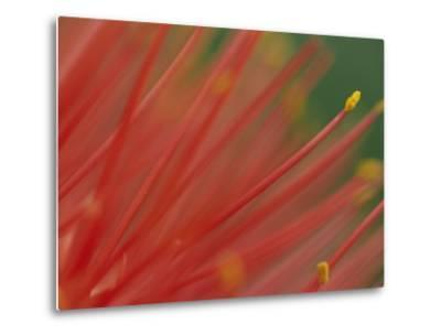 A Close View of a Fireball Lily Flower-Chris Johns-Metal Print