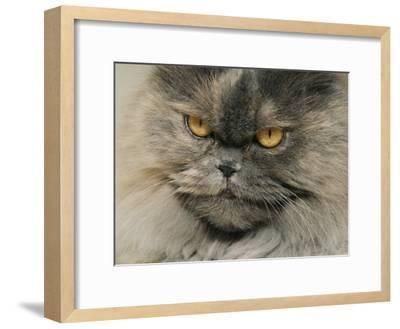 Close View of a Grey Himalayan Cat-Brian Gordon Green-Framed Photographic Print