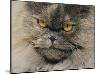 Close View of a Grey Himalayan Cat-Brian Gordon Green-Mounted Photographic Print