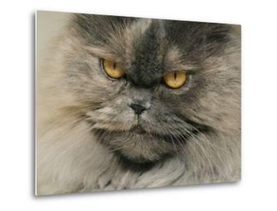 Close View of a Grey Himalayan Cat-Brian Gordon Green-Metal Print