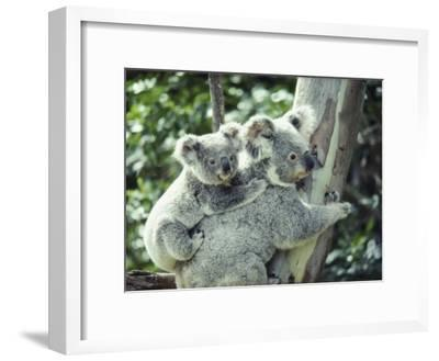 A Koala Bear Hugs a Tree While Her Baby Clings to Her Back-Anne Keiser-Framed Photographic Print