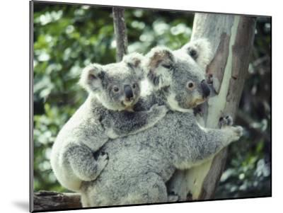 A Koala Bear Hugs a Tree While Her Baby Clings to Her Back-Anne Keiser-Mounted Photographic Print