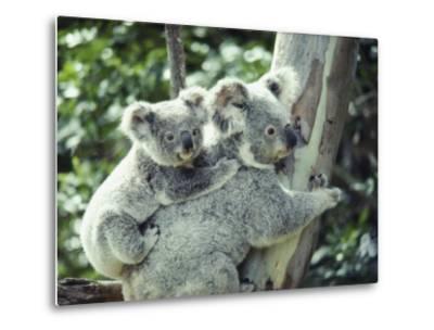 A Koala Bear Hugs a Tree While Her Baby Clings to Her Back-Anne Keiser-Metal Print