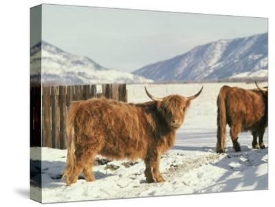 West Highland Cattle-Dick Durrance-Stretched Canvas Print