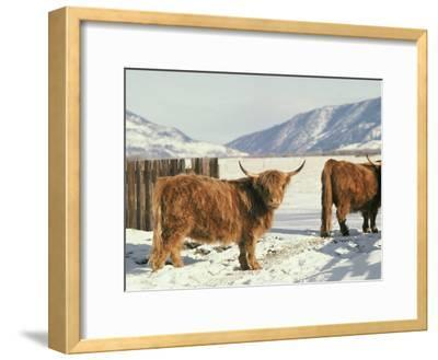 West Highland Cattle-Dick Durrance-Framed Photographic Print