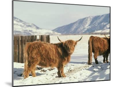 West Highland Cattle-Dick Durrance-Mounted Photographic Print