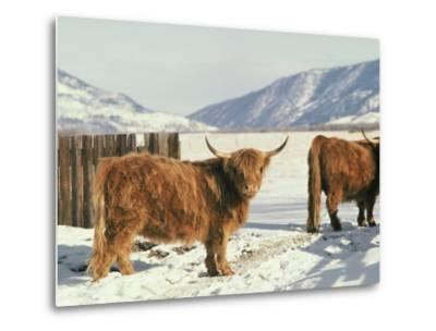 West Highland Cattle-Dick Durrance-Metal Print