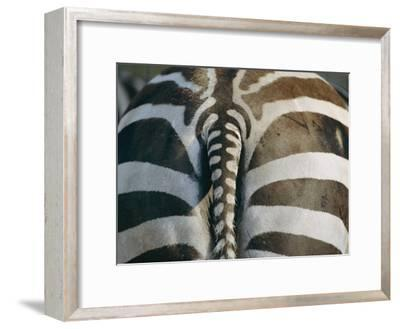 Close View of a Grants Zebras Rear End-Joel Sartore-Framed Photographic Print
