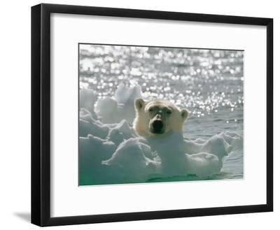A Polar Bear in the Water Peers up over a Chunk of Ice-Norbert Rosing-Framed Photographic Print