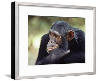 A Close-up of One of the Many Chimpanzees That were Studied by Researcher Jane Goodall-Kenneth Love-Framed Photographic Print