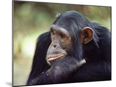 A Close-up of One of the Many Chimpanzees That were Studied by Researcher Jane Goodall-Kenneth Love-Mounted Photographic Print