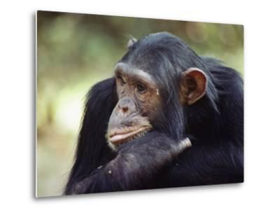 A Close-up of One of the Many Chimpanzees That were Studied by Researcher Jane Goodall-Kenneth Love-Metal Print