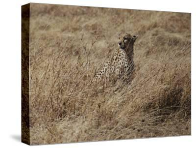 A Camouflaged Cheetah Sits Alone in a Field of Tall Grass in Serengeti National Park-Kenneth Love-Stretched Canvas Print