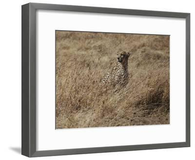 A Camouflaged Cheetah Sits Alone in a Field of Tall Grass in Serengeti National Park-Kenneth Love-Framed Photographic Print