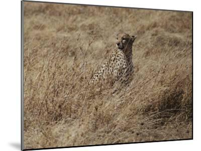 A Camouflaged Cheetah Sits Alone in a Field of Tall Grass in Serengeti National Park-Kenneth Love-Mounted Photographic Print