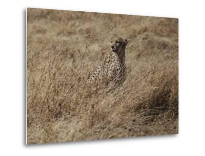 A Camouflaged Cheetah Sits Alone in a Field of Tall Grass in Serengeti National Park-Kenneth Love-Metal Print