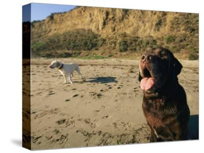 Two Dogs Take a Breather on the Beach-Roy Toft-Stretched Canvas Print