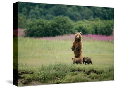 An Alaskan Brown Bear Guards Her Cubs-Roy Toft-Stretched Canvas Print