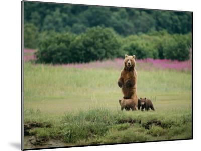 An Alaskan Brown Bear Guards Her Cubs-Roy Toft-Mounted Photographic Print