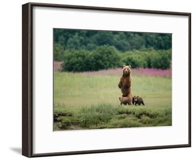 An Alaskan Brown Bear Guards Her Cubs-Roy Toft-Framed Photographic Print