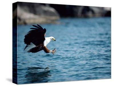 An African Fish Eagle Swoops Towards the Waters Surface-Bill Curtsinger-Stretched Canvas Print