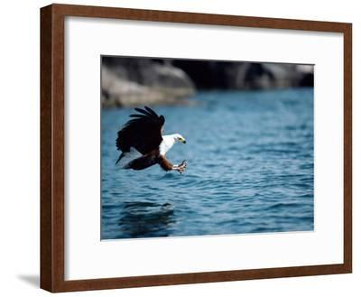 An African Fish Eagle Swoops Towards the Waters Surface-Bill Curtsinger-Framed Photographic Print