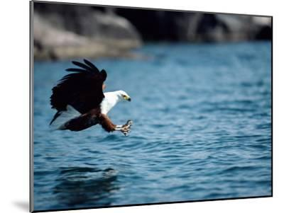 An African Fish Eagle Swoops Towards the Waters Surface-Bill Curtsinger-Mounted Photographic Print