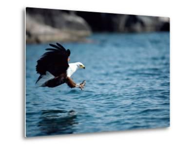 An African Fish Eagle Swoops Towards the Waters Surface-Bill Curtsinger-Metal Print