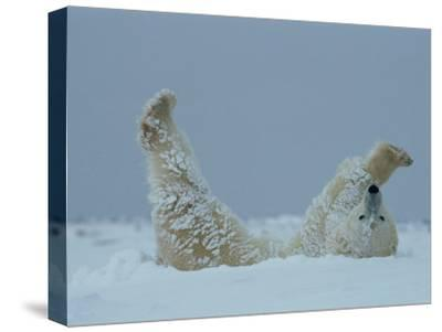 A Polar Bear (Ursus Maritimus) Rolls Through the Snow-Norbert Rosing-Stretched Canvas Print