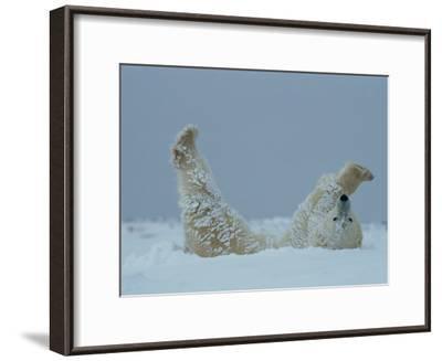 A Polar Bear (Ursus Maritimus) Rolls Through the Snow-Norbert Rosing-Framed Photographic Print