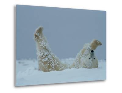 A Polar Bear (Ursus Maritimus) Rolls Through the Snow-Norbert Rosing-Metal Print
