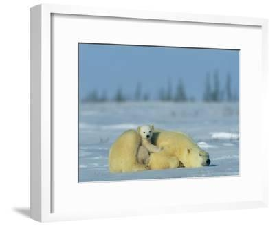 A Sleepy Polar Bear Mother (Ursus Maritimus) Serves as a Protective Bed for Her Cub-Norbert Rosing-Framed Photographic Print